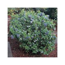 1 Plant Top Hat Blueberry Dwarf Perennial Gallon Pot  FREE SHIP - $81.00