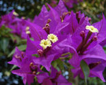 Plant Bougainvillea - 'Royal Purple' (It's not seeds It's Plant) - $657,21 MXN