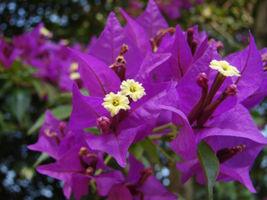 Plant Bougainvillea - 'Royal Purple' (It's not seeds It's Plant) - $28.11