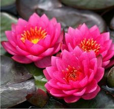 5 Professional Packs, 1 Seeds/pack Mini Red Water Lily Nymphaea Flower Seed Home - $8.30