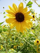 25 Seeds of Suntastic Yellow With Black Center Sunflower - $22.28