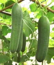 Cucumber Spacemaster Seeds, 30 pcs seeds - $13.50