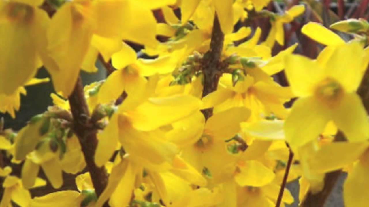 "Forsythia Lynwood Gold-""Golden Bells"" (Forsythia xintermedia 'lynwood') 4"" pot"