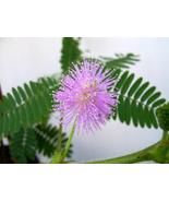 Mimosa_20pudica_thumbtall