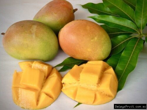 Primary image for SHIP FROM US Mango Tropical Fruit Tree Plant (Kesington) TPE3