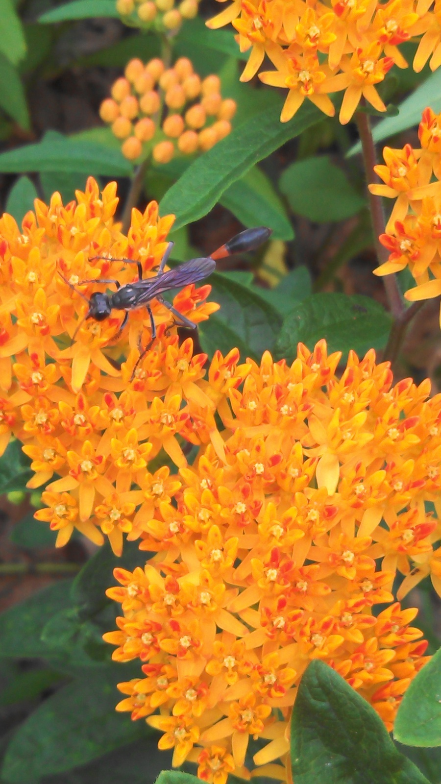 Organically grown Butterflyweed,Asclepias tuberosa, Milkweed Monarch butterflies