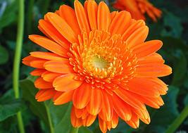 13280mg Fiesta Gitana Calendula Seeds ~ Garden Herb Medicinal Flower Har... - $22.99