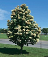 LIVEPLANT Japanese Tree Lilac seedling creamy white flowers blooming Flo... - $48.00