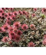250 Bulk Seeds New Zealand Burr Bronze Acaena, DIY Decorative Plant ov004 - $53.99