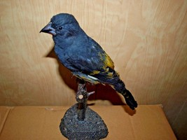 RARITY!  White-winged Grosbeak Taxidermy mount - $158.95