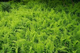 Hay-Scented Fern 1000 Bare Root Rhizomes FREE SHIPPING - $2,530.00