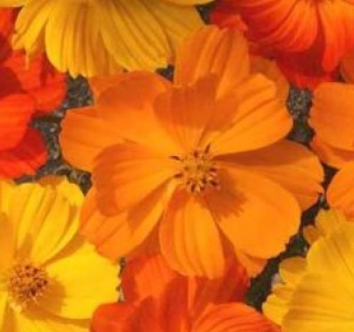 SHIPPED From US, COSMOS BRIGHT LIGHTS MIX 30 FRESH FLOWER SEEDS-SPM - $16.99