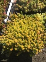 """Sedum Angelina - Bright Yellow - Succulent Groundcover - Full Flat 16""""x16"""" - $32.78"""