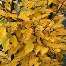 American Hornbeam tree (Carpinus caroliniana) quart pot image 4