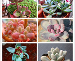 Package star beauty seeds mixed pink green colors succulent plant bonsai seeds diy thumb155 crop