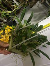 "Whopper Dendrobium aggregatum Bloom size 6"" wood slat basket LARGE SPECIES image 8"