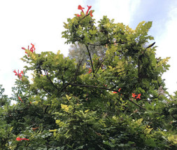 20 Fresh Cuttings- Cape Honeysuckle Tecomaria Hummingbird  Butterfly No ... - $15.15