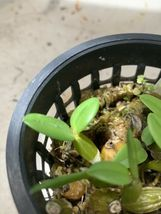 Dendrobium Pachyphyllum Unusual Orchid Hard to find! Species Rare Ooo image 4