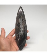 """230.9g,7.75""""x2.1""""x0.7"""" Fossils Orthoceras (straight horn) SQUID @Morocco... - $10.00"""