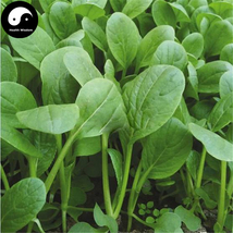 Buy Nanjing Cabbage Vegetables Seeds 800pcs Plant Chinese Green Leaf Bra... - $15.99