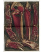 1748 Antique medical poster print flayed dissected HUMAN feet legs muscl... - $15.84