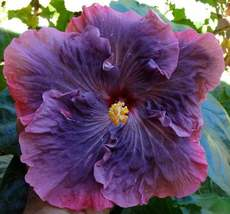 Dinnerplate Hibiscus mallad 250 SEEDS - $41.99