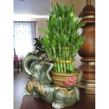 "Lucky Bamboo Plant Jumbo Size Elephant Ceramic Vase with 3 Tier 4"" 6"" 8""... - €49,78 EUR"
