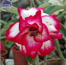 Adenium White Petals Rose Red Edge Flower Seeds, 2 seeds, professional p... - $4.20