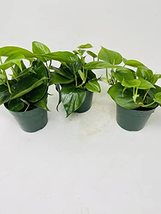 """Heart Leaf 'Philodendron cordatum'- (Pack of 3) 4"""" pots - $26.45"""
