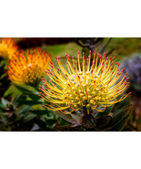 Yellow Pin Cushion Protea, Fine Art Photos, Paper, Metal, Canvas Print - $40.00