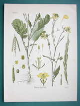 BLACK MUSTARD Medicinal Plant Brassica Nigra - Beautiful COLOR Botanical... - $16.83