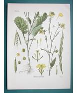 BLACK MUSTARD Medicinal Plant Brassica Nigra - Beautiful COLOR Botanical... - $16.83