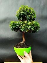 Myrtus Communis Tarentina Bonsai - A special and exotic tree - $296.90