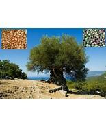 Olive tree Arbequina - 100 Fresh seeds - $37.56