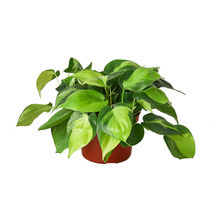 "1 Live Plant - Philodendron Hederaceum 'Brasil' 6"" Pot #HPS13 - $57.99"