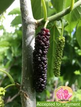 Giant Purple Mulberry (3) fresh cuttings Ready To Root Make Your own Plants - $3.03