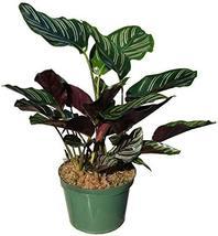 Calathea Ornata Pinstripe Plant - $27.68