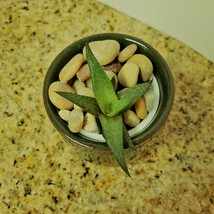 """Haworthia Succulent in Ceramic Green Crackle Planter, 2"""", with River Rocks image 2"""