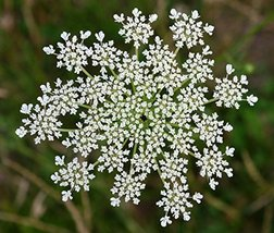 1 Pound Seeds of Queen Anne's Lace - $89.00