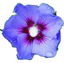 HIBISCUS SYRIACUS different varieties and colors Blue 50 seeds - $22.99