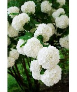 Chinese Snowball Bush Viburnum Plant macrocephalum sterile Rare hard to ... - $39.99