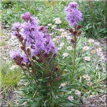 25 Seeds Liatris Blazing Star Ligulistylus Perennial - $19.70