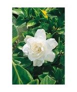 5  Cuttings White August Beauty Gardenia Shrub Stater Cuttings - $13.37
