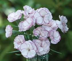 BEST PRICE 50 Seeds Dianthus Crimson Rim Carnation,DIY Decorative Plant NF774 DG - $5.35