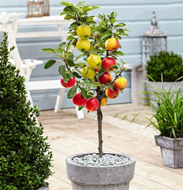 Dwarf Bonsai Apple Tree 20 Seeds Pick Delicious Fruits In