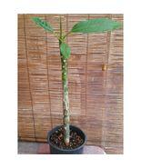 Rooted Plumeria Plant (Celadine) #STR11 - $82.17