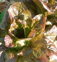 SHIP FROM US LETTUCE, Rouge D'Hiver Romaine Heirloom - Fresh &Hand-packa... - $6.00