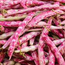 50 French Horticulture Bean Seeds 2019 (All Non-Gmo Heirloom Vegetable Seeds!) - $3.96