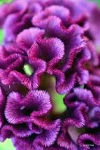 Ship From Us 30 Seeds Purple Cockscomb,Diy Sb Flower Seeds - $27.99