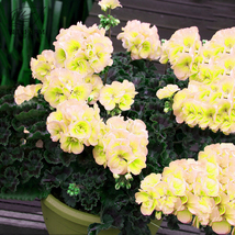 BEST PRICE 10 Seeds BELLFARM Geranium White Green,DIY Decorative Plant Z... - $5.89